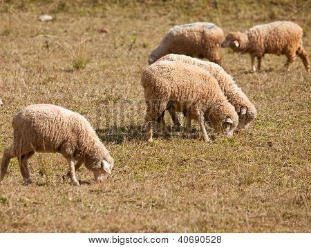 Group Of Sheep.