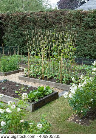 Vegetable Patch, Home-grown (home Grown) Vegetables Growing In A Uk Garden In Spring