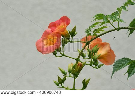 The Chinese Trumpet Creeper Is A Bignoniaceae Deciduous Vine With Beautiful Orange Flowers That Bloo