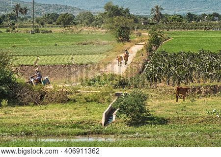 Rural Landscape In Asia. Farmer Leads Cows From Pasture Among Fields. Vietnam