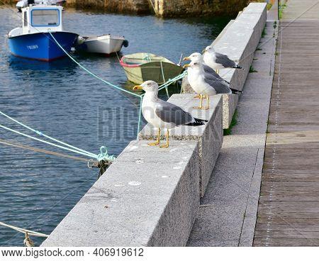 Seagulls, Herring Gulls, In A Galician Harbor. Galicia, Spain.