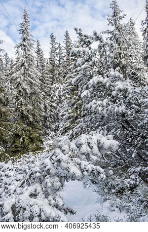 Snowy Coniferous Forest In Low Tatras Mountains, Slovak Republic. Natural Winter Scene. Hiking Theme