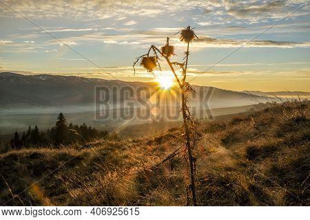 Dry Thistle In Sunset, Helpa Village, Slovak Republic. Seasonal Natural Scene.