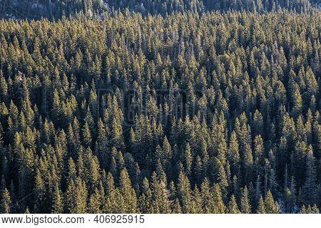 Coniferous Forest In Mengusovska Valley, High Tatra Mountains, Slovak Republic. Hiking Theme.