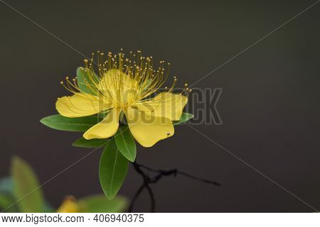 Chinese Hypericum Is A Hypericaceae Plant That Produces Bright Yellow Five-petaled Flowers With Many