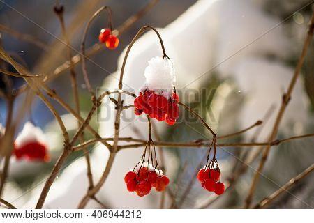 Juicy Red Berries Of Viburnum (guelder Rose, Viburnum Opulus) Covered With Snow In Winter. Beautiful