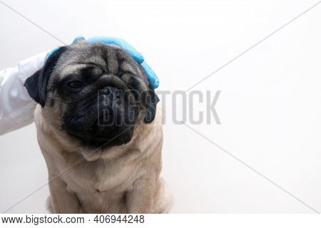 Scared Of Doctors. Cute Scared Pug Dog Puppy At Medical Checkup. Emotional Dog Expresses Fear Of Vet