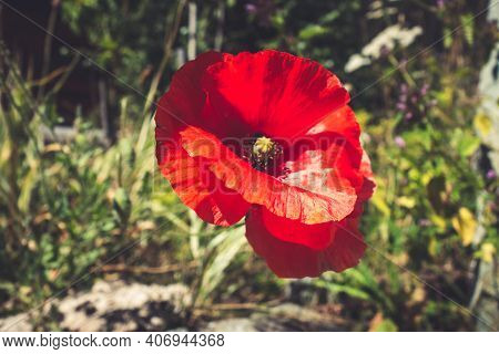 Poppy Flower Closeup View In Vanoise National Park Field, French Alps