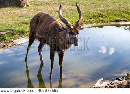 Antelope Sitatunga (tragelaphus Spekii). African Antilope In River. Forest Antelope. Zoo Animal