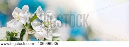 Spring Background With Blooming White Apple Tree Flowers. Beautiful Nature Scene With Sunlight. Orch