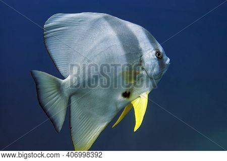 The Solitary Batfish Is A Large Fish With A Flat, Shiny Body And Yellow Pectoral Fins In Close-up. O