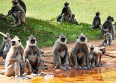 Monkeys in Anuradhapura, Sri Lanka poster