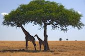 animals 049 giraffe under tree poster