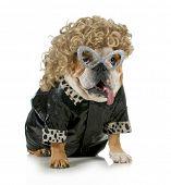 female dog - english bulldog wearing blonde wig and black leather coat isolated on white background poster