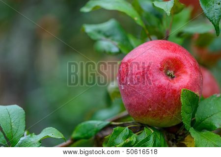 Red Apple On A Branch Close-up