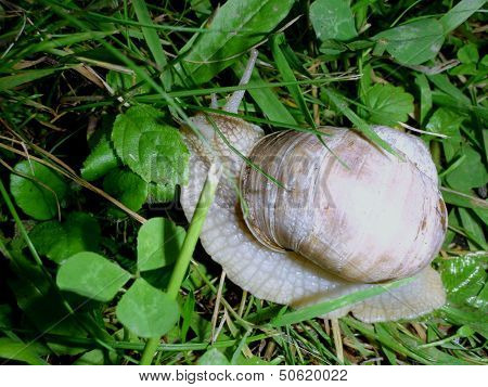 Germany's forest snail