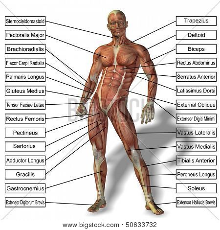 High resolution 3D male or human anatomy, a man with muscles and text isolated on white background  poster