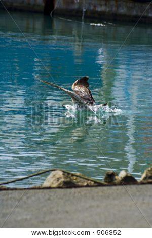 Seagull Bathing