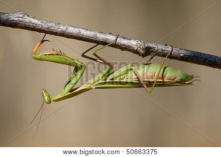 Horizontal photo of a praying mantis perched on a branch. poster