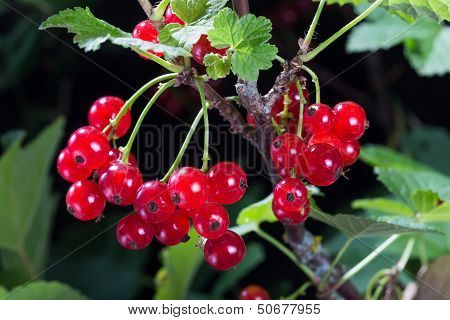 Red Currant Berries