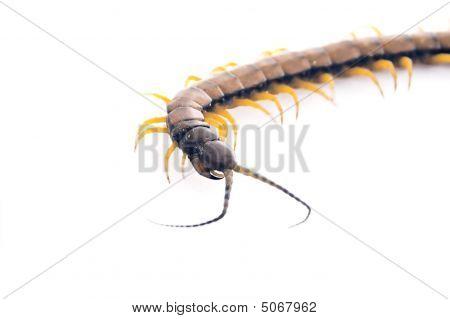 Centipede - Curve