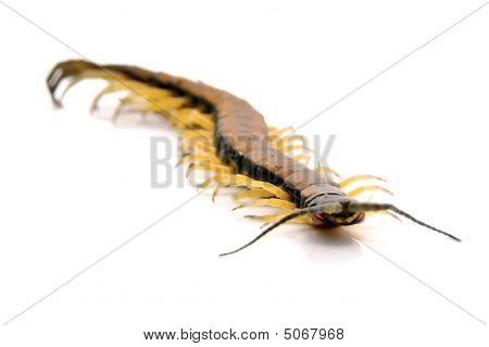 Centipede - Friendly