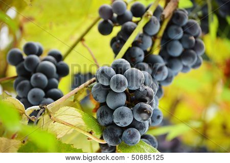 Bunch Of Fresh Red Grapes  In Vineyard