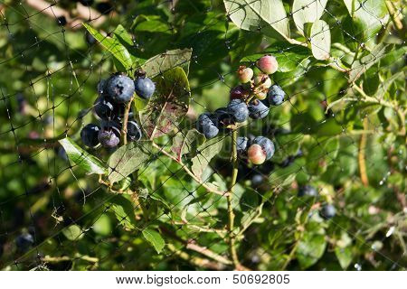 Blueberries Ripening Under Netting