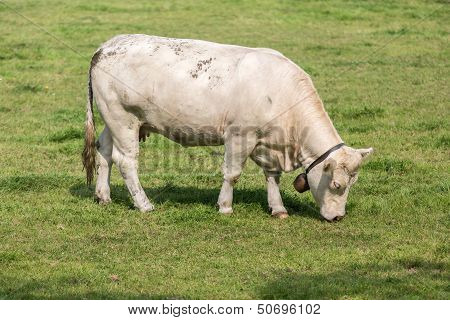 White Cow In Dutch Pasture