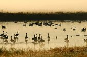Geese and ducks take refuge in the shallow waters in a Missouri Wetland. poster
