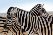 closeup of a beautiful couple of zebra - family concept poster