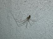 common spider at home poster