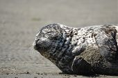 A sleepy Harbor Seal napping on the beach poster