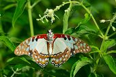 A White Lady Swallowtail Butterfly caught by a Thomisus crab spider. poster