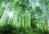 Magic morning sunlight in green forest with fog and tall trees poster