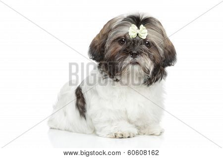 Shitzu Puppy Portrait On White Background