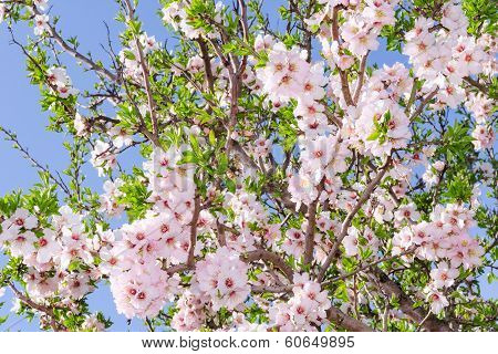 Bright Clear Stock Photo Spring Bloom Of Apricot Tree