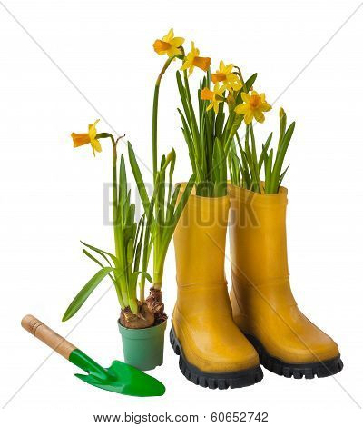 Yellow Daffodils And Rubber Boots Isolated