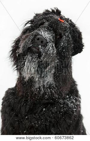 Big black terrier with muzzle in the snow poster
