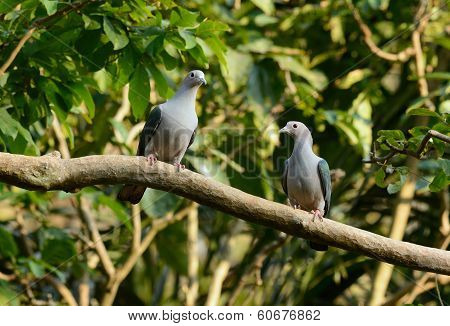 beautiful Green Imperial Pigeon (Ducula aenea) standing on branch poster