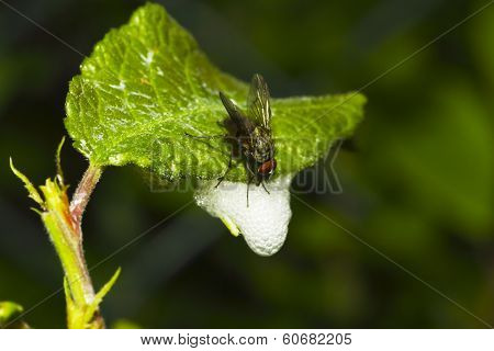 Fly Feeding on Spittle Foam.