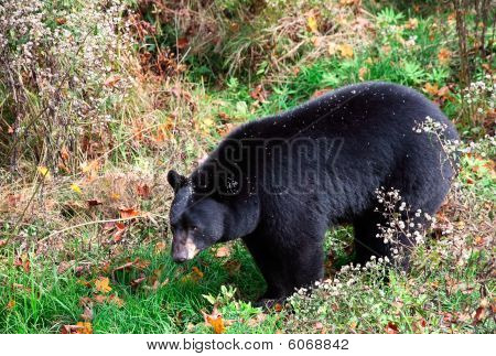 American Black Bear Walking Through Shrubs And Grass On A Fall Day