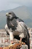 A Black  Chested Buzzard Eagle at an outdoor bird sanctuary near Otavalo, Ecuador poster