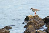 Redshank standing on a rock in the blue water looking out for passing fish and catch his meal of the day poster