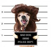 a mugshot of a cute chihuahua with a wig on poster