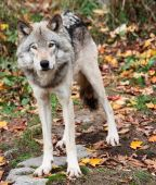 On a fall day a gray wolf is looking at the camera. poster