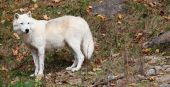 This is an arctic wolf standing and looking back on a fall day poster