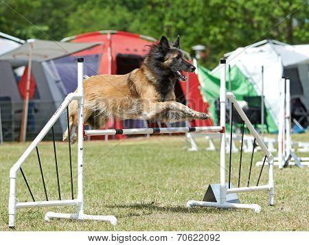 Belgian Shepherd (berger Belge)