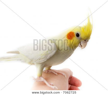 Cockatiel, Cockatoo Parrot, Quarrion, Weero, Nymphicus Hollandicus