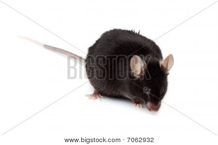 Fancy Mouse, Mus Musculus Domesticus